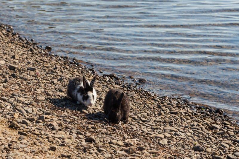 Miniatuurkonijnen die op aard weiden royalty-vrije stock afbeelding
