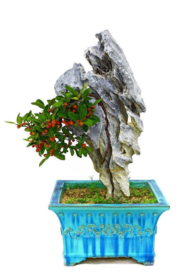 Miniatuurkumquat van Hongkong bonsaiinstallatie met vruchten stock foto