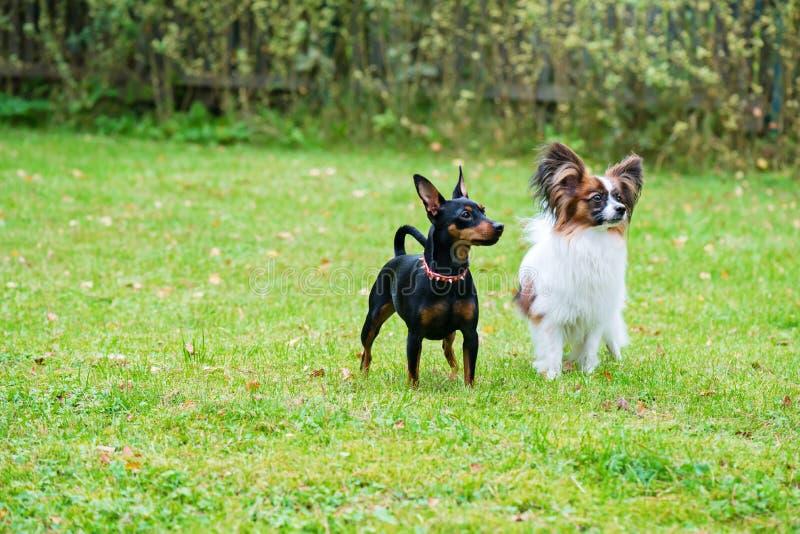 Miniatuurpinscher en papillon purebreed honden stock fotografie