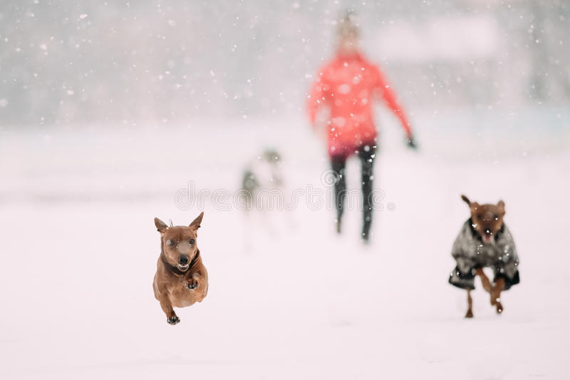 Miniatuurpinscher Pinchers Min Pin Playing And Running Together royalty-vrije stock foto