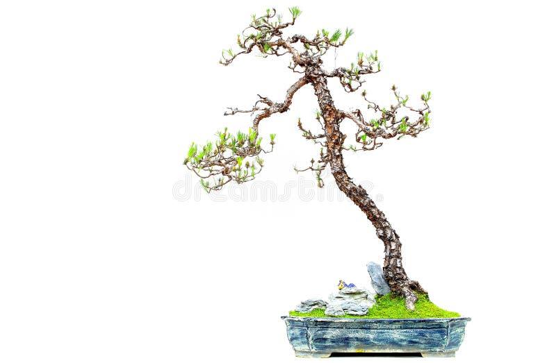 Miniatuurpinus van de bonsaiinstallatie massoniana of masson pijnboom royalty-vrije stock afbeelding
