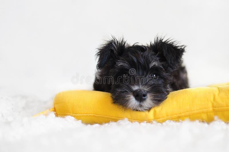 Miniatuurschnauzer-puppy op een geel hoofdkussen op een witte achtergrond royalty-vrije stock afbeeldingen