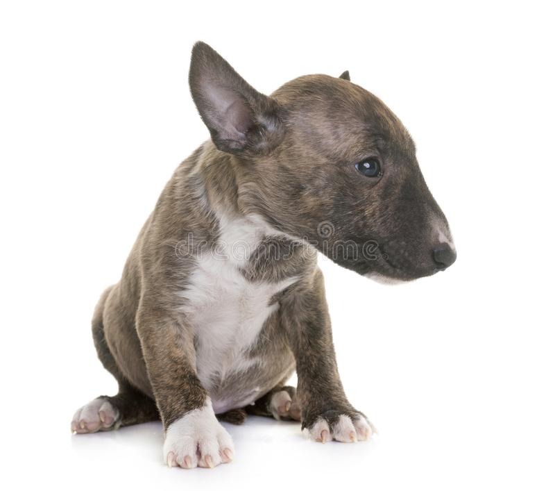 MiniatyrBull terrier arkivfoto