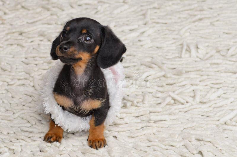Miniatyrdascshund fotografering för bildbyråer