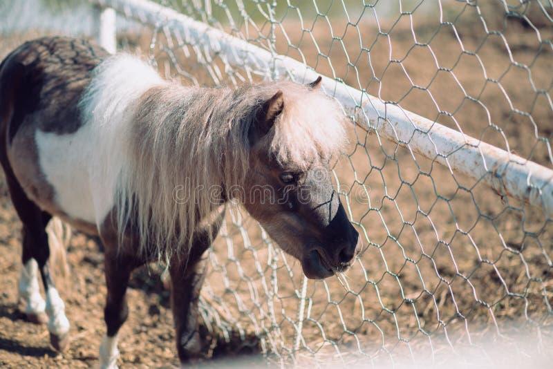 Miniatyrhäst eller ponny i lantgården gullig liten ponny arkivbilder