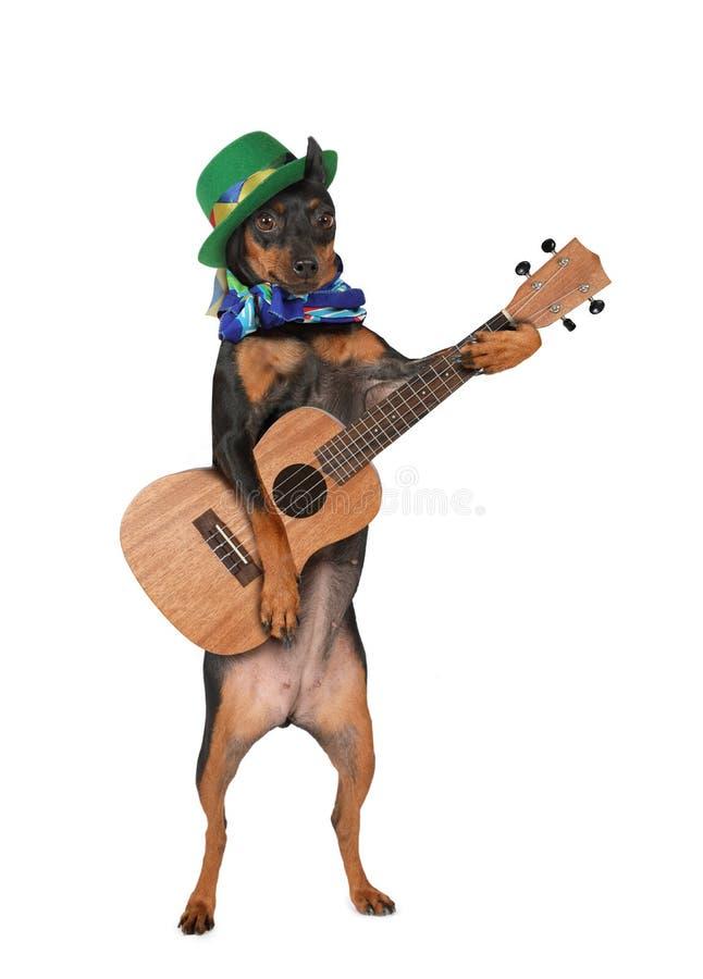 MiniatyrPinscherhund med en gitarr och en hatt royaltyfria bilder