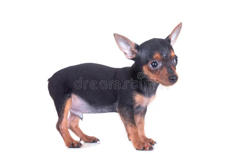 MiniatyrPinscherhund som ler och att se upp p? vit bakgrund arkivbilder