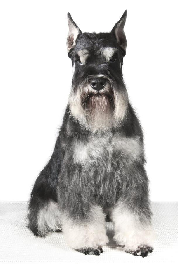 Miniatyrschnauzer för härlig hund fotografering för bildbyråer
