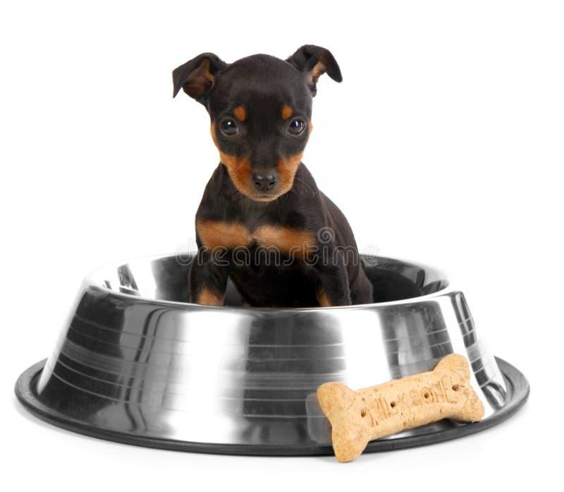 Minidobermann-Spielzeug Pinsher Welpen-Hund stockfoto