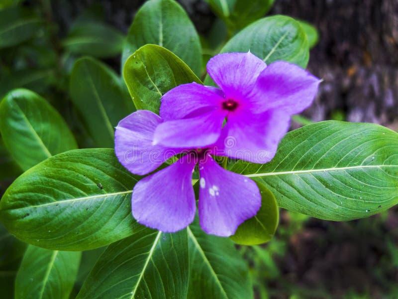 Miniflores púrpura con hojas verdes en segundo plano foto de archivo libre de regalías