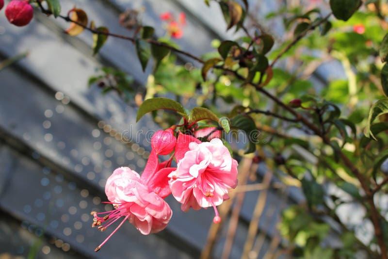Miniflores rojas y rosadas foto de archivo libre de regalías