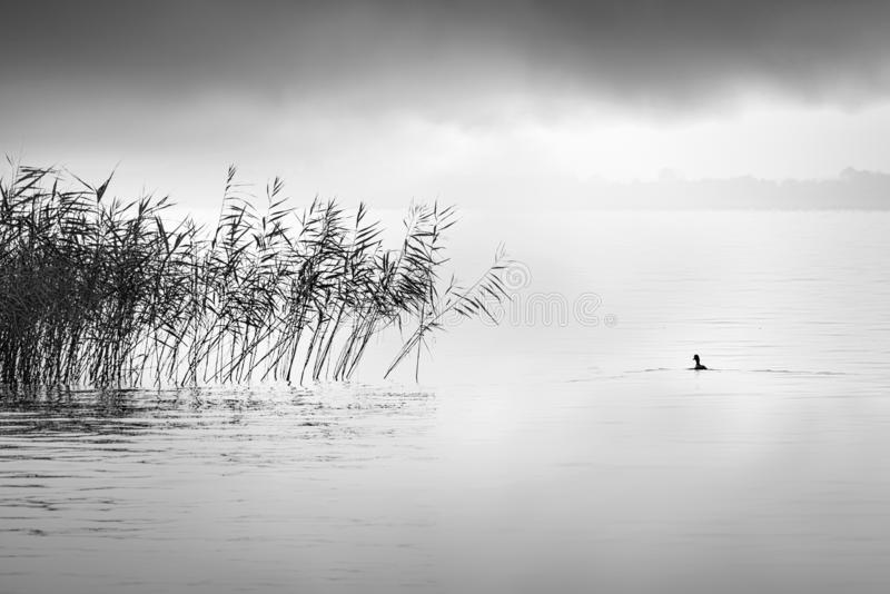 Minimal, Black and White image of plants and bird in the area of Volvi lake. Fine Art, Minimal, Black and White image of a bird in the area of Volvi lake royalty free stock image