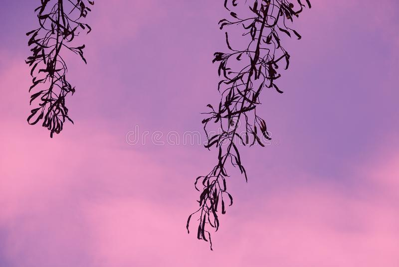 A minimal silhouette seedpods in serene of dawn. royalty free stock photography