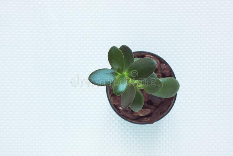 Minimale het werkruimte, groene succulente Geldboom in een pot op witte geweven achtergrond De hoogste vlakke mening, legt stock fotografie