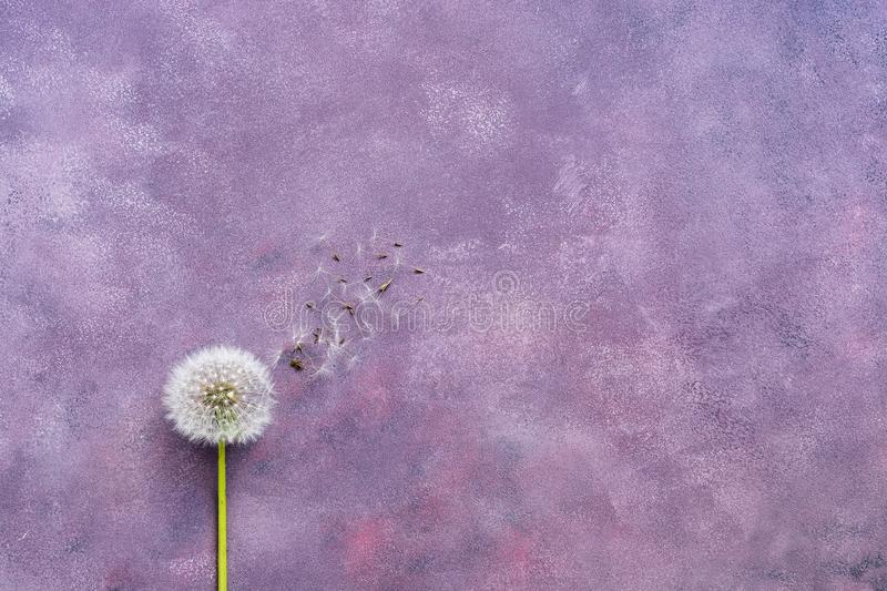 Minimalism, fluffy dandelion with seeds on a beautiful abstract purple background. Copy space, flat lay royalty free stock photo