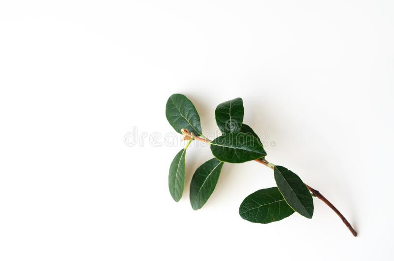 Minimalism. green feijoa branch on white background. Feijoa Acca sellowiana - Pineapple Guava, flatlay royalty free stock photography