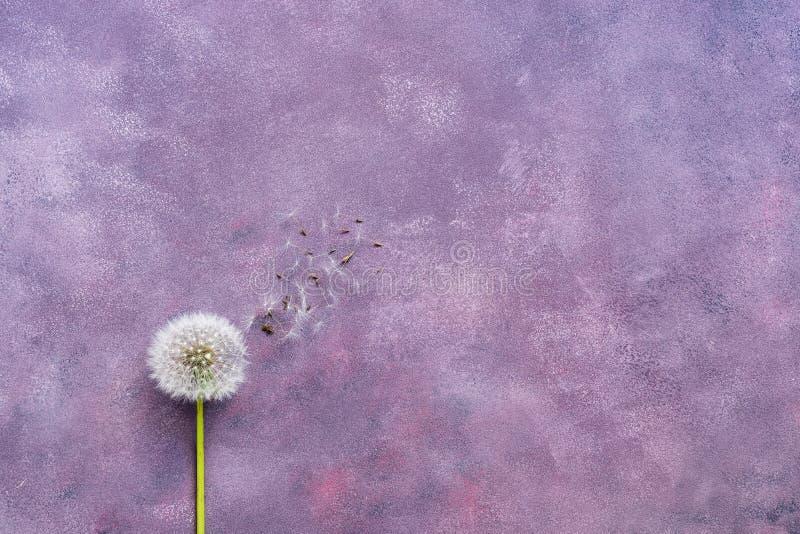 Minimalism, pluizige paardebloem met zaden op een mooie abstracte purpere achtergrond De vlakke exemplaarruimte, legt royalty-vrije stock foto