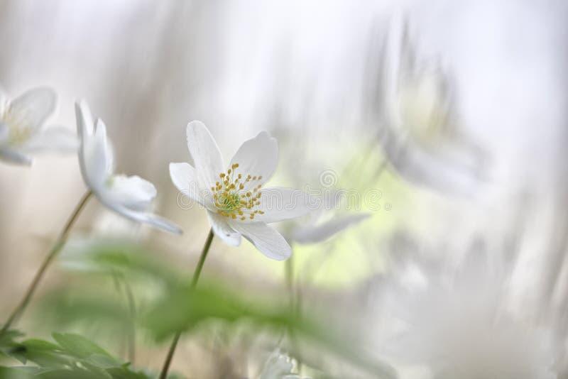 Minimalismo del Wildflower - fiori selvaggi della molla bianca fotografie stock libere da diritti
