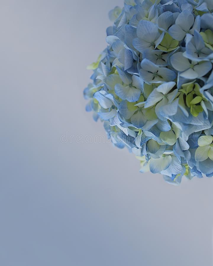 Minimalist image of beautiful blue and white hydrangea bloom with soft color background royalty free stock photos