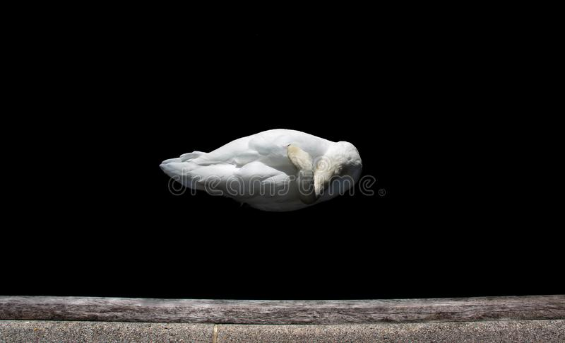 Minimalist pure white swan sleeping in the city. Pure white swan shot from above, sleeping right in the heart of Paddington station in London. Strong contrast stock photography