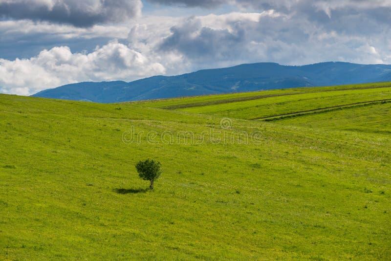 Minimalistic风景,在绿色草甸的唯一年轻野苹果树 免版税库存照片