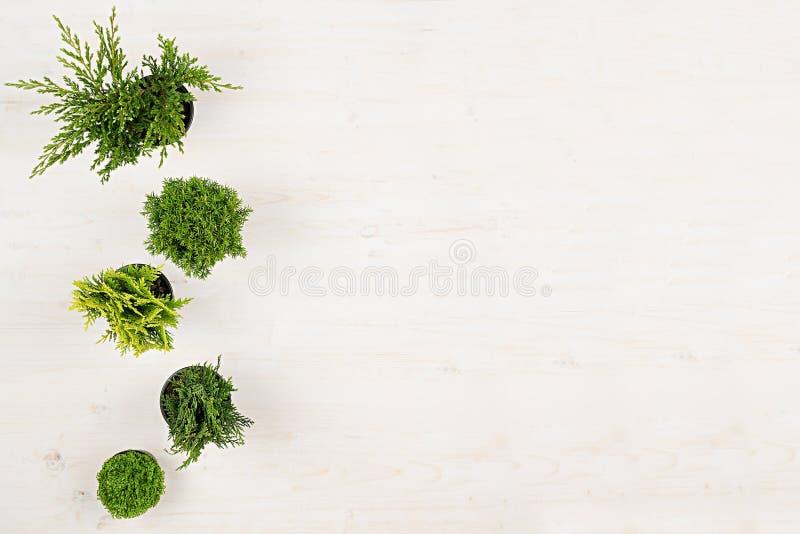 Minimalistic decoratieve grens van groene naaldboominstallaties in potten hoogste mening over witte houten raadsachtergrond Lege  royalty-vrije stock fotografie
