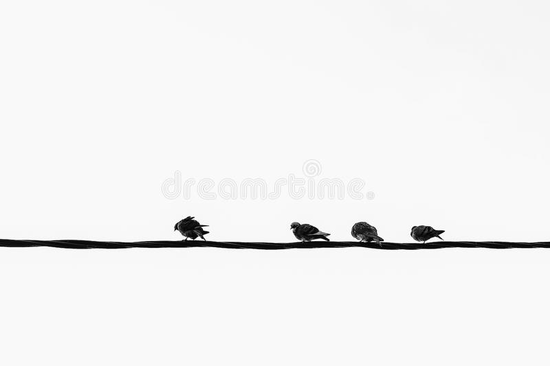 A monochrome pattern of pigeons on the electrical wire royalty free stock photo