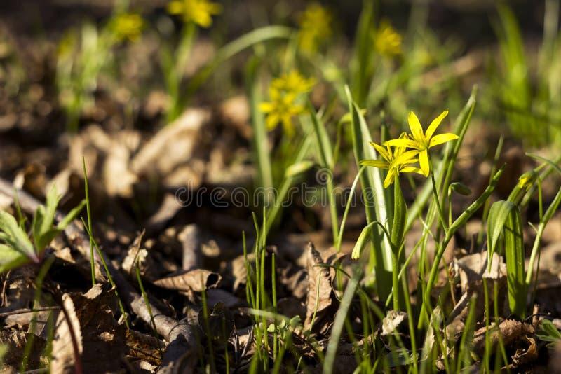 Minimi di Gagea meno Gagea - fiori gialli in anticipo che fioriscono al tempo di molla, fondo immagine stock libera da diritti