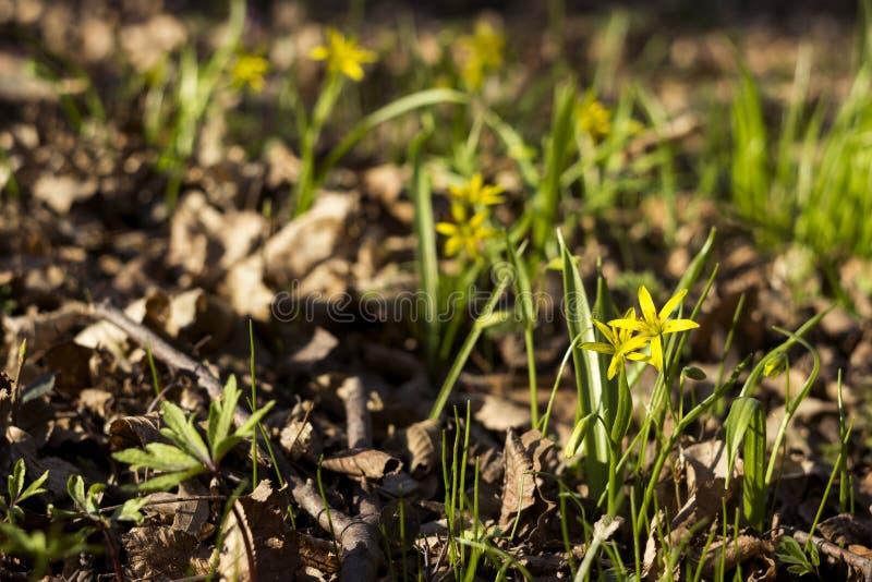 Minimi di Gagea meno Gagea - fiori gialli in anticipo che fioriscono al tempo di molla, fondo immagini stock libere da diritti