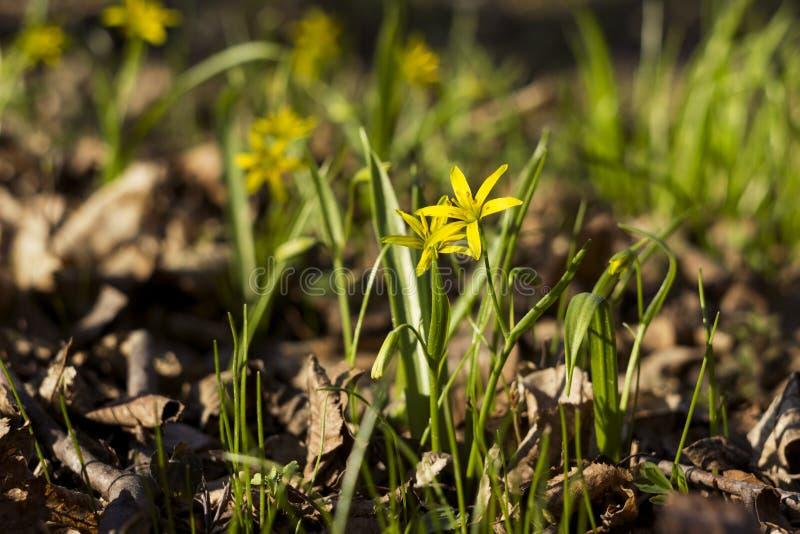 Minimi di Gagea meno Gagea - fiori gialli in anticipo che fioriscono al tempo di molla, fondo fotografia stock libera da diritti
