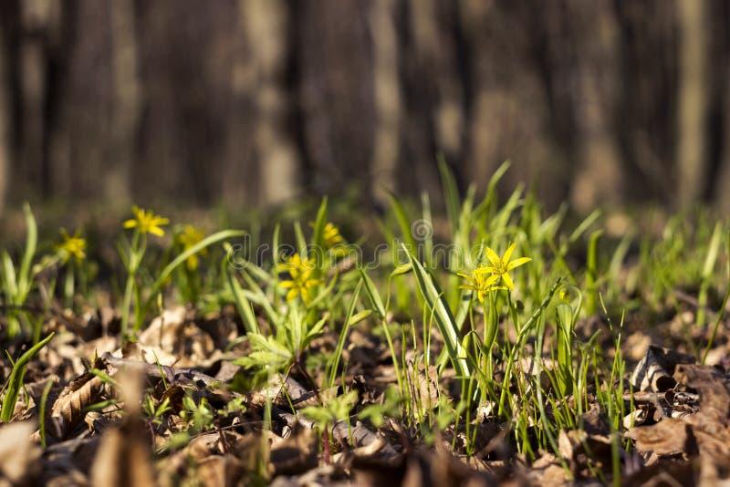 Minimi di Gagea meno Gagea - fiori gialli in anticipo che fioriscono al tempo di molla, fondo fotografia stock