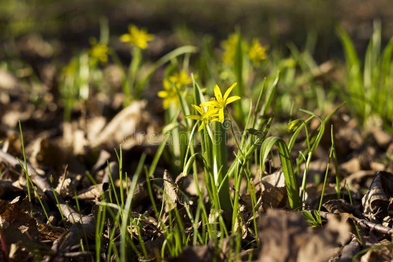Minimi di Gagea meno Gagea - fiori gialli in anticipo che fioriscono al tempo di molla, fondo immagine stock