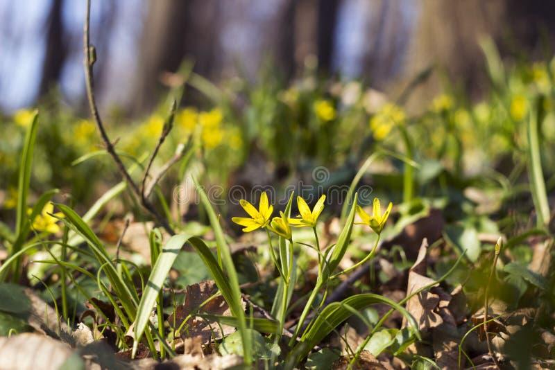 Minimi di Gagea meno Gagea - fiori gialli in anticipo che fioriscono al tempo di molla, fondo immagini stock