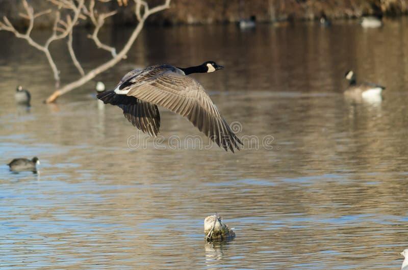 Minimo di volo dell'oca del Canada sopra Autumn Wetlands fotografia stock