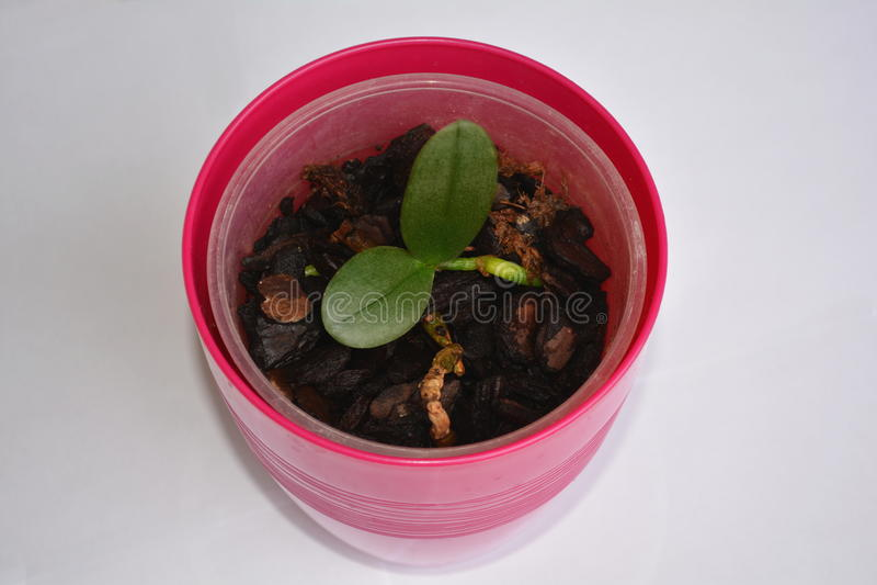 Miniorchidee (Phalaenopsis) lizenzfreie stockbilder