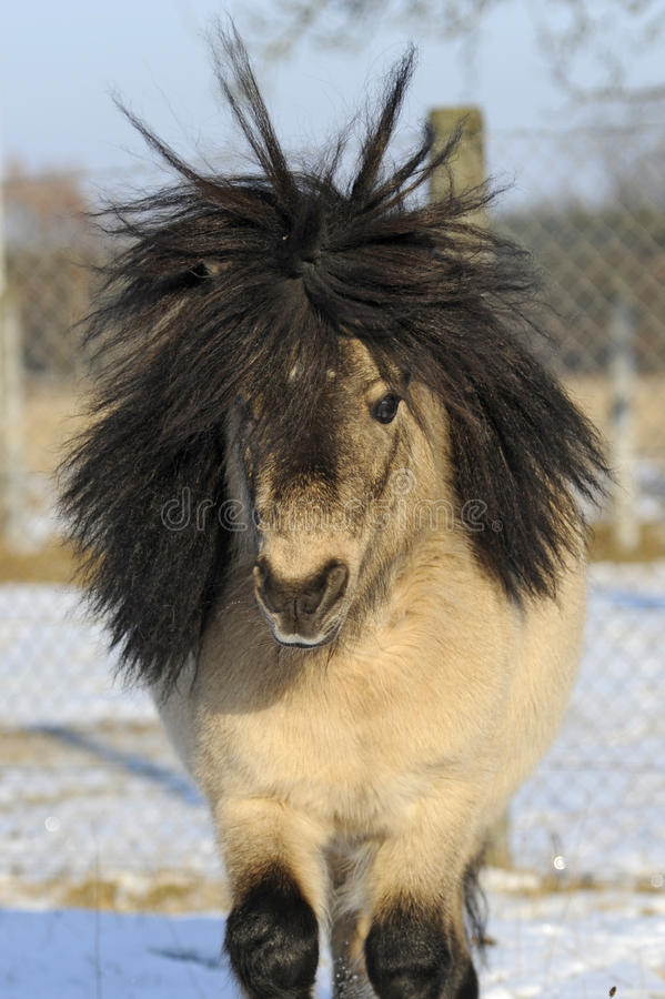 Minishetland-Pony, 12 Jahre alte Stallion lizenzfreies stockfoto