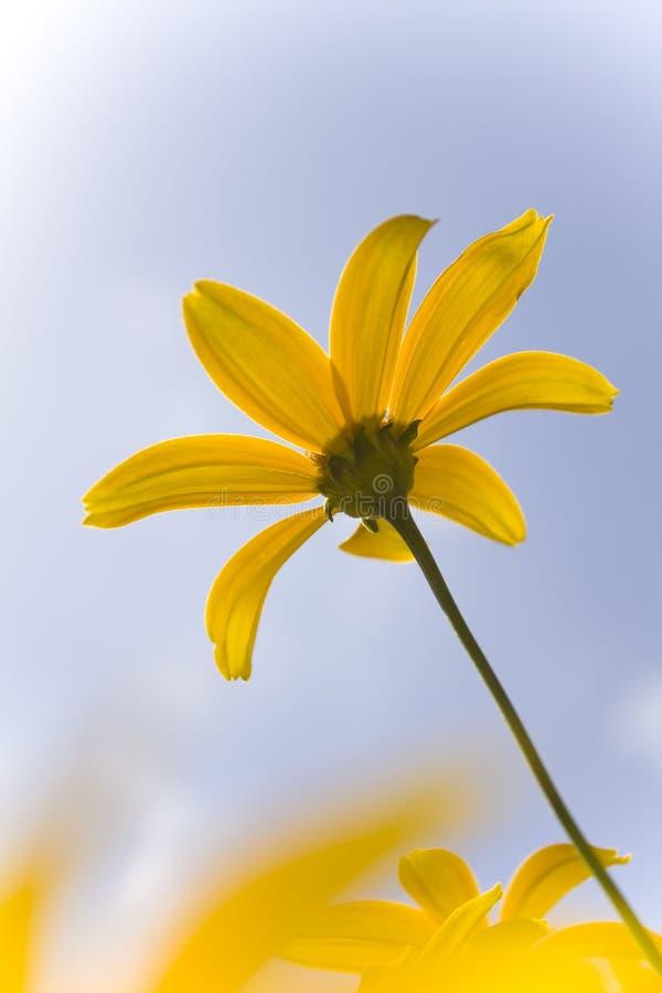 Minisonnenblume, die für Sonne erreicht stockbilder