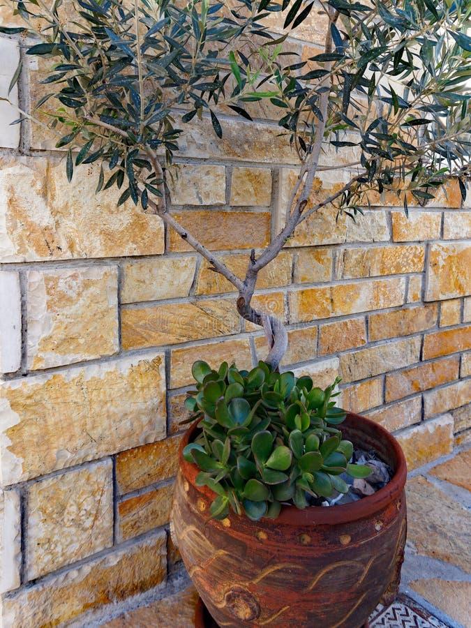 Miniture Olive Tree no potenciômetro imagens de stock