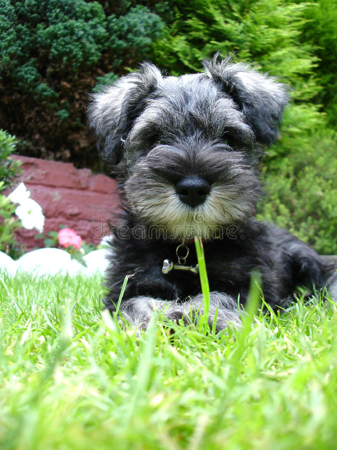 Download Miniature Schnauzer Pup stock photo. Image of buster - 23607320