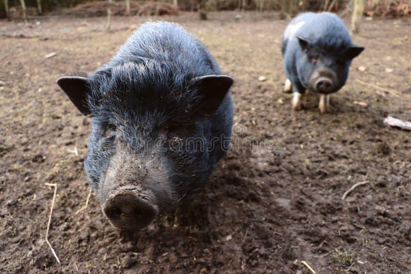 Minivarken twee in modder stock foto