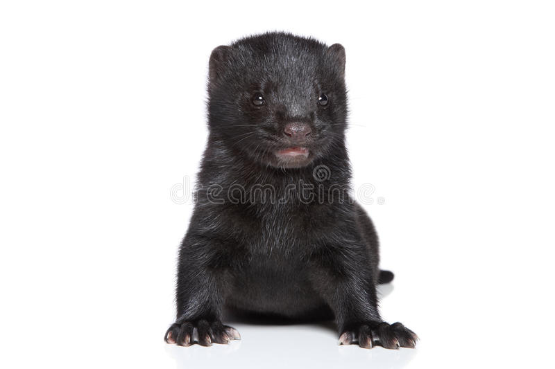 Download Mink (1 month) stock photo. Image of tiny, rodent, small - 23876402