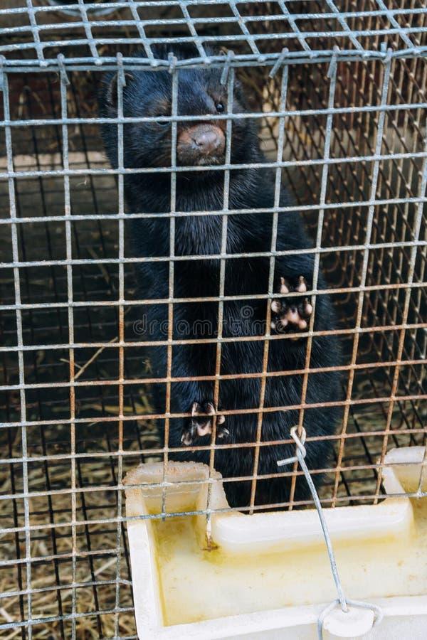 Mink in een kooi royalty-vrije stock foto