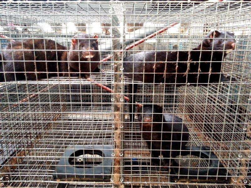 Mink in gevangenschap royalty-vrije stock afbeelding