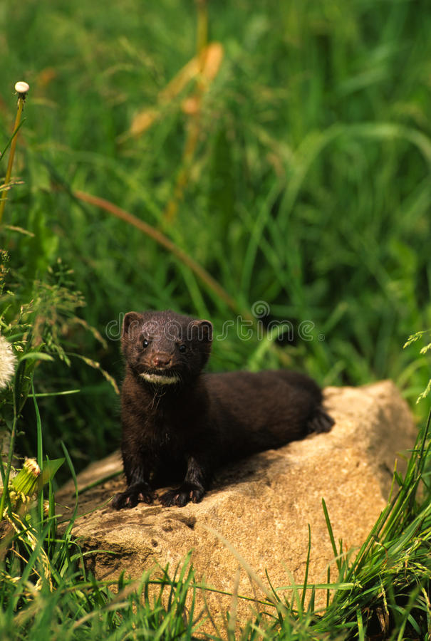 Download Mink on Rock stock photo. Image of mammal, wild, predator - 17799406