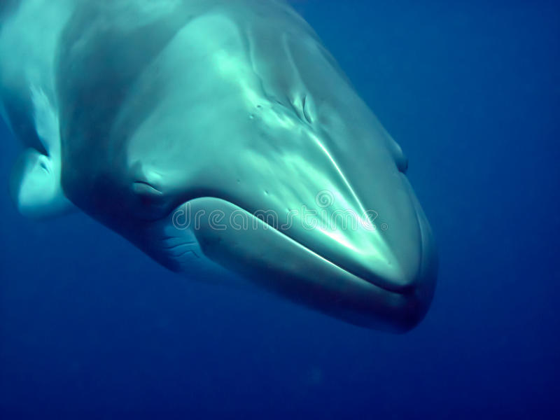 Minke whale stock images