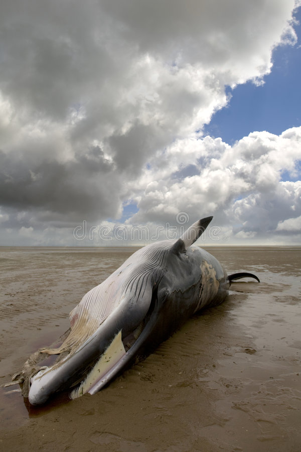 Minke Whale royalty free stock image