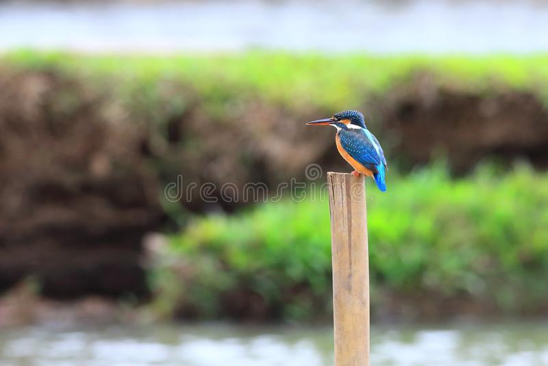 Minla Azul-con alas fotografía de archivo libre de regalías