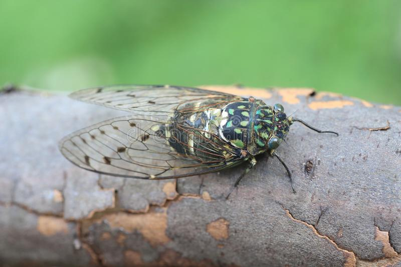 Minmin robust Cicada in Japan. Minmin Robust Cicada Hyalessa maculaticollis in Japan royalty free stock photo