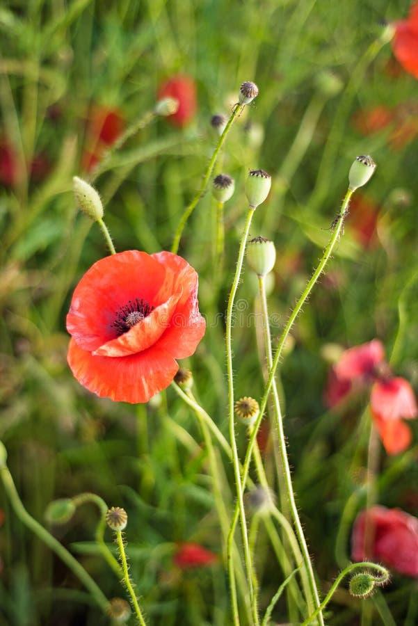 Minnedag, Anzac Day, serenitetopiumvallmo, botanisk v?xt, ekologi Vallmoblommaf?lt som sk?rdar Sommar och v?r, royaltyfri foto
