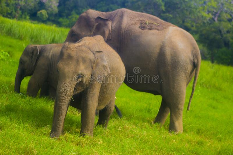 Asian wild Eliphant - Sri lanka minneriya national park stock photos